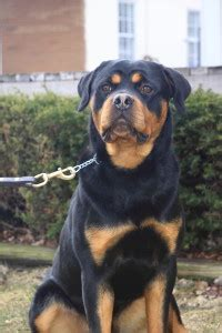 rottweiler for sale indianapolis trained dogs for sale family obedience protection dogs