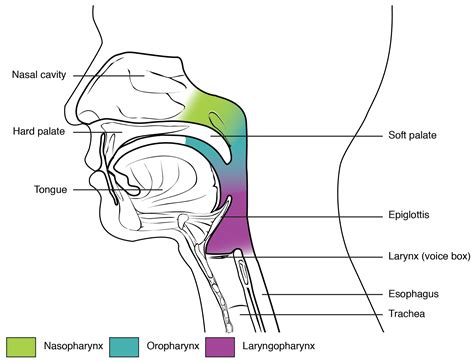 3 sections of the pharynx organs and structures of the respiratory system 183 anatomy