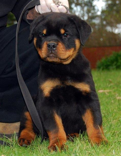 purebred german rottweiler puppies for sale rottweiler puppy rottweiler puppies