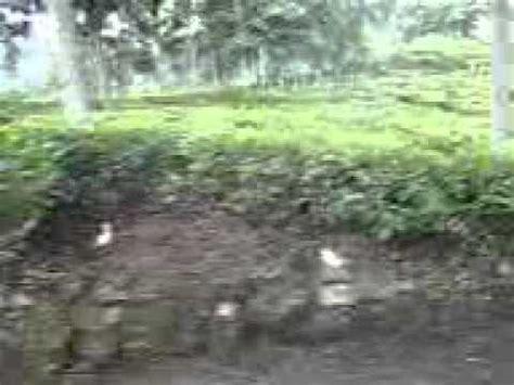 Teh Hijau Jamus tour wisata kebun teh jamus ngawi