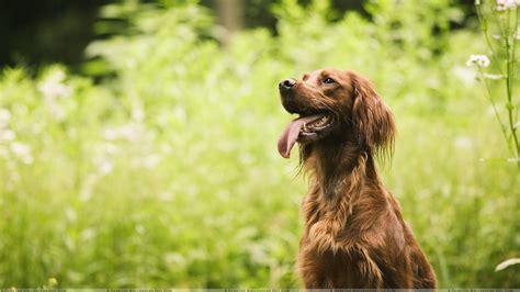 Garden Dogs Brown In Garden Wallpaper