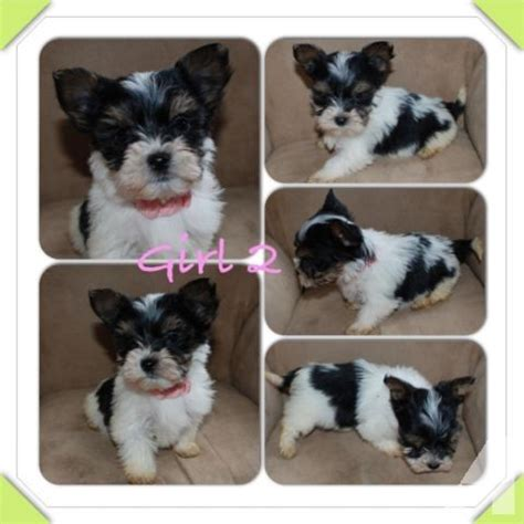 puppies for sale puyallup wa beautiful biewer yorkie pups for sale in puyallup washington classified