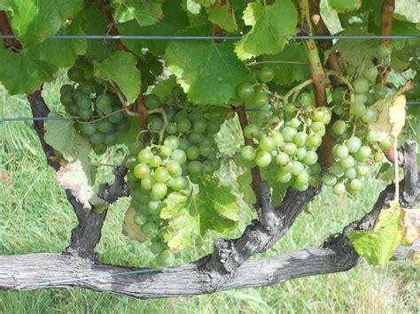 file semillon grapes on the vine jpg wikimedia commons