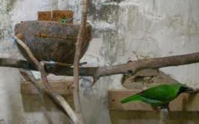 belajar ternak burung kacer bagaimana cara ternak cucak hijau dengan baik yuliusangga