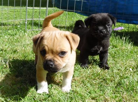 miniature pug puppies for sale in pin miniature pug puppies for sale uk on