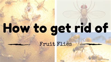 7 Ways To Get Rid Of Fruit Flies by Top 10 Ways To Get Rid Of Fruit Flies Fast