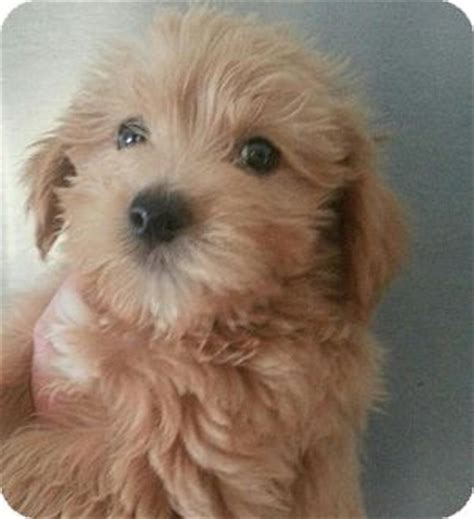 maltese yorkie mix puppies adoption yorkie maltese mix puppy cookie breeds picture