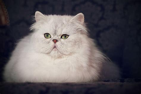 gatti persiani bianchi le interviste di leander allevamento felino rosa