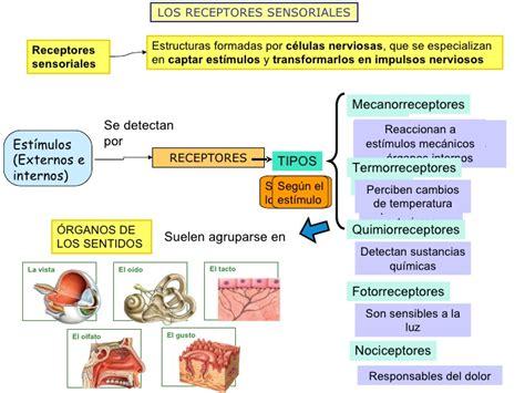 los receptores sensoriales los receptores sensoriales mapa conceptual images