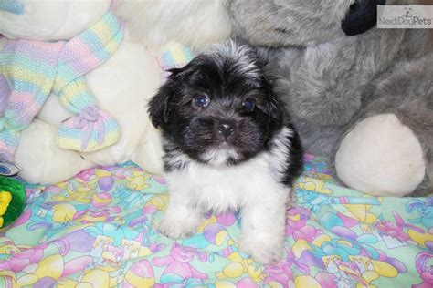 baby havanese puppies meet freddy a havanese puppy for sale for 800 baby boy
