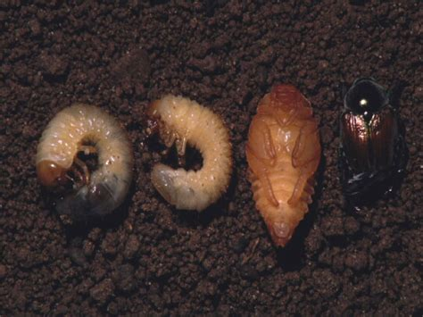 understand life cycles is key to controlling grubs what s hot at the p pdl plant pest