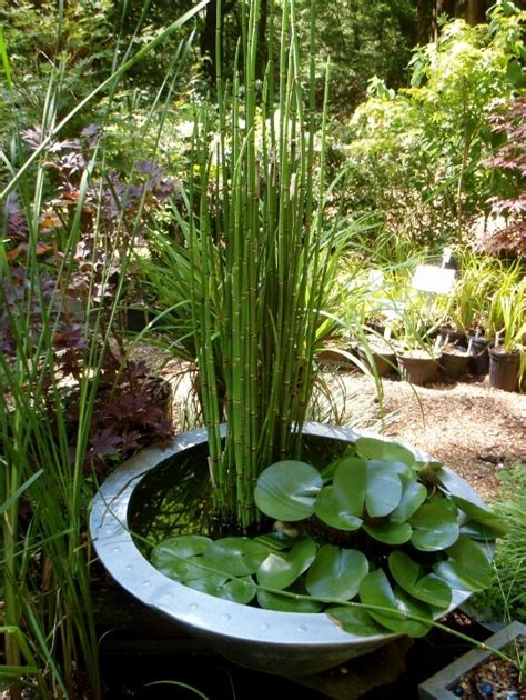 water garden containers for sale 17 best images about equisetum in pot and
