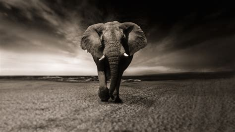 wallpaper 4k elephant free african elephant 4k chromebook wallpaper ready for