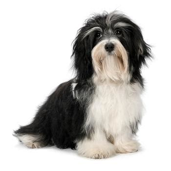 curly havanese puppies pictures of curly haired havanese havanese breeds picture