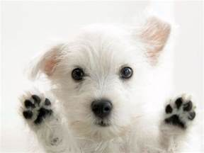 What Color Clothes Can You Wash Together - so cute white dog photo wallpaper dogs wallpapers