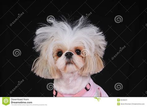 shih tzu and bad shih tzu bad hair day stock image image 8440241