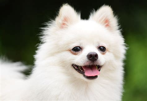 How Much Do Pomeranians Shed by Small Breeds The Cutest Small Dogs