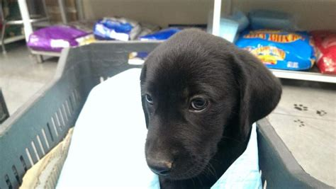 pomeranian puppies for sale cheap price black labrador puppies for sale cheap price for 150 by elmazad