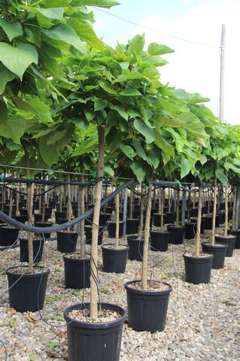 kugel trompetenbaum kaufen trompetenbaum nana 224 italia catalpa bignonioides nana