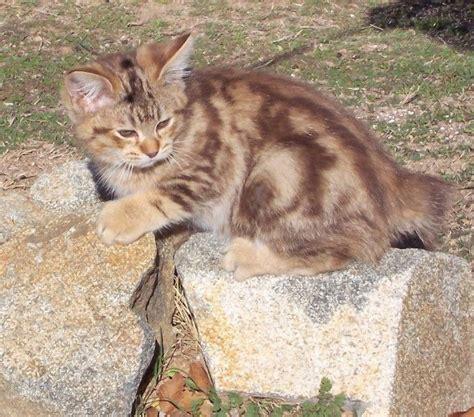 Kucing Shorthair 365 gambar kucing american bobtail shorthair suka kucing
