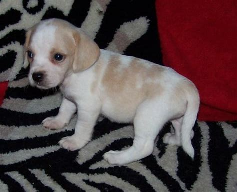 lemon beagle puppies for sale for sale beagle puppies for sale cr beagles