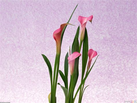 pink calla lily wallpaper 12185 open walls