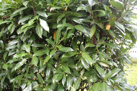 kirschlorbeer hecke welche sorte aufrechter kirschlorbeer herbergii prunus laurocerasus