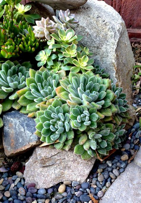Succulent Rock Garden Succulent Border Rock Garden Groundcovers Rock Gardens