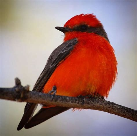 vermilion flycatcher tucson arizona birding photo