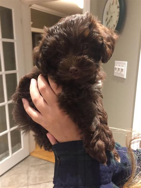 chocolate yorkie poo best 25 yorkie poo puppies ideas on terrier poodle mix small dogs and