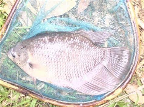 Jual Bibit Gurame Jakarta Timur jual ikan gurame jual ikan gurame gurami konsumsi