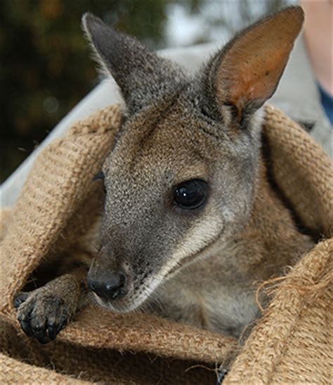 doodlebug wallaby image gallery wallaby s