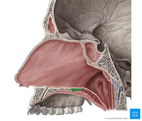 palatine bone the palatine bone anatomy borders and development kenhub