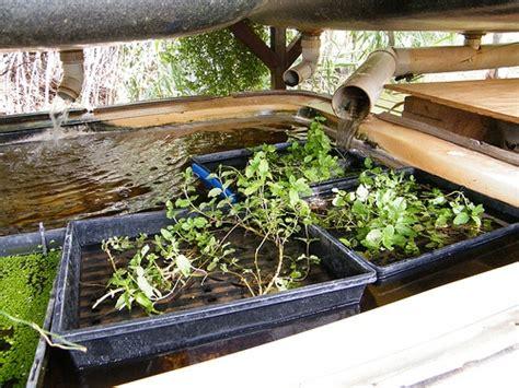 bathtub aquaponics bathtub aquaponics in alice springs milkwood