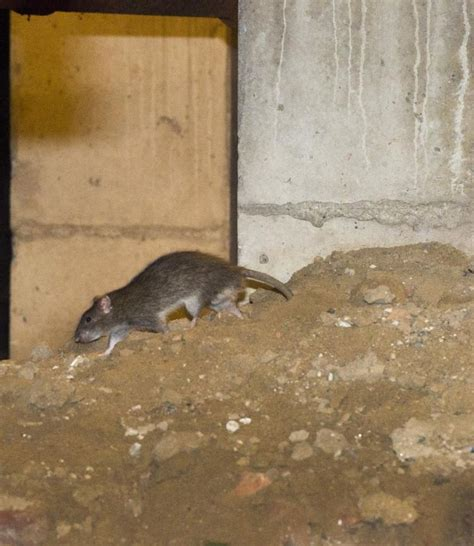 mice in the basement patterson houses in bronx fighting rat infestation