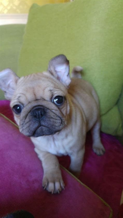 bulldog cross pug puppies for sale pug cross bulldog puppy for sale barrow in furness cumbria pets4homes