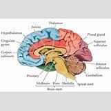 Hypothalamus   466 x 305 png 145kB
