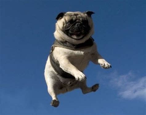 jumping pug 30 jump pictures and images gallery