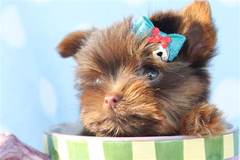 yorkie definition yorkie puppies dogs wallpaper background description breeds picture