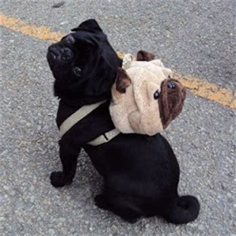 stuff for pugs 17 best images about pug stuff on pug fawn pug and pugs