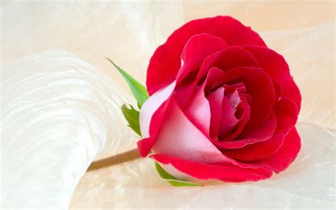 imagenes de rosas full hd free download rosas vermelhas flores hd wallpaper