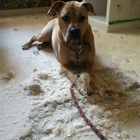 why do dogs dig in their beds why is my dog digging at the carpet floor matttroy