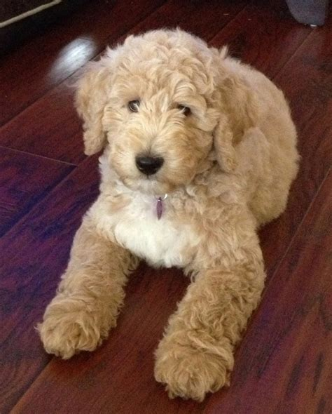 labradoodle puppy 1 midwest labradoodle paisley australian labradoodle puppy midwest labradoodle