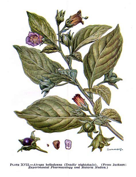 atropa belladonna maison d espirit