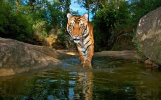 herding tigers be the leader that creative need books can tribes and tigers coexist in india s nature reserves