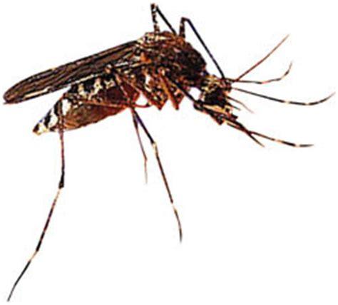 gambar nyamuk anopheles betina nyamuk malaria contoh artikel makalah judul skripsi