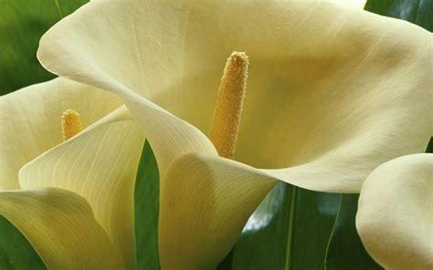 significato fiore calla fiore calla fiori delle piante calla fiore