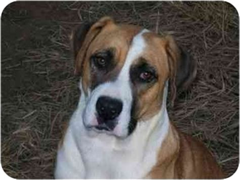 albany, ny st. bernard. meet meagan a dog for adoption.