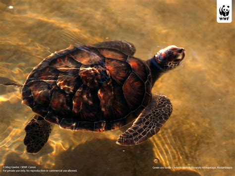 Turtle L by Green Turtle Wwf