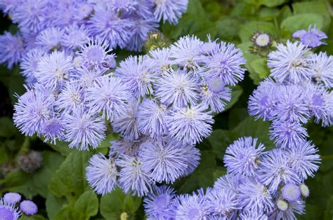 grow l for plants ageratum plants growing and caring for ageratums